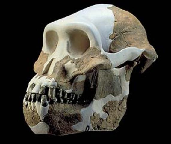 Australopithecus bahrelghazali  - 3.58 m.a.