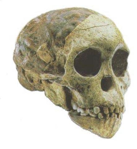 Australopithecus africanus  - 3.3/2.5 m.a.