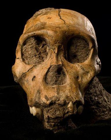Australopithecus sediba  - 1.78/1.95 m.a.