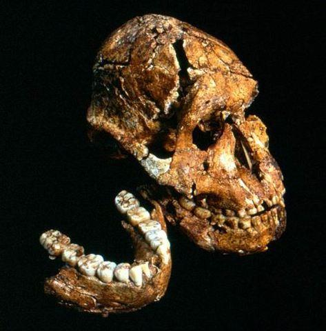 Paranthropus robustus  - 2/1.2 m.a.
