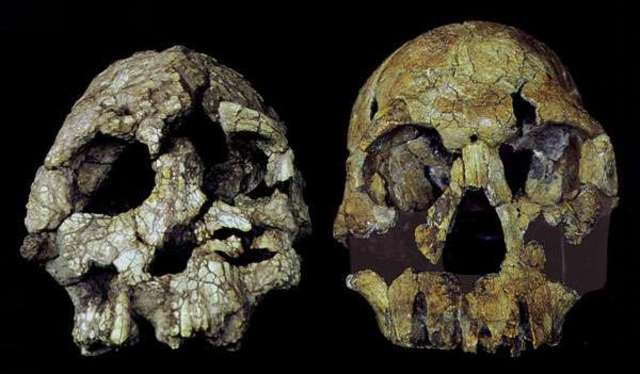 Kenyanthropus platyops  - 3.5 m.a.