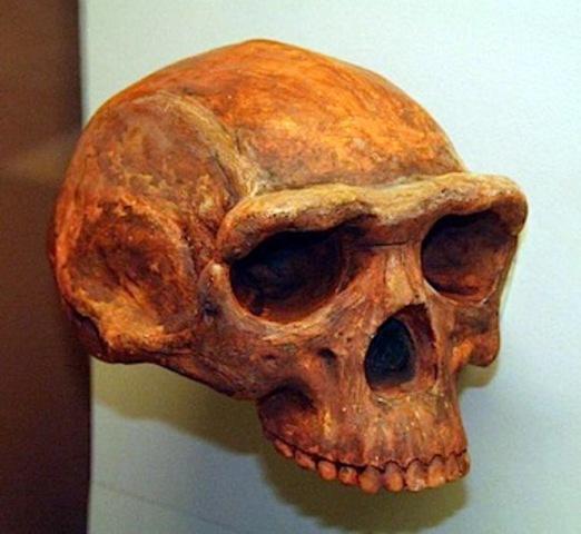 Homo erectus  - 1.8 m.a./300000 años