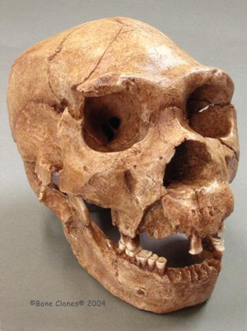 Homo heidelbergensis  - 500000/250000 años