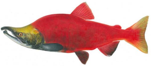 Salmon Sickness