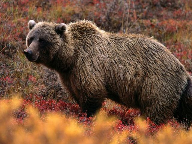 Encounter with Grizzlies