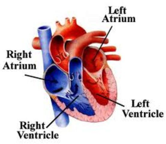Heart develops right and left chambers.