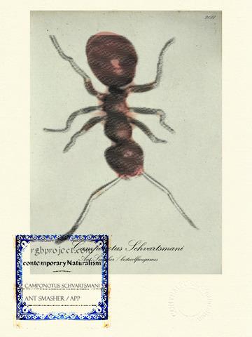 Camponotus Schvartsmani