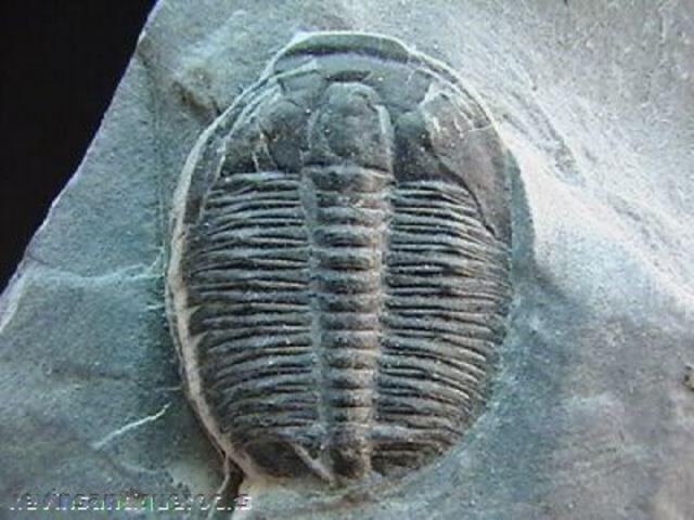 Cambrian Period- 570-500 MYA