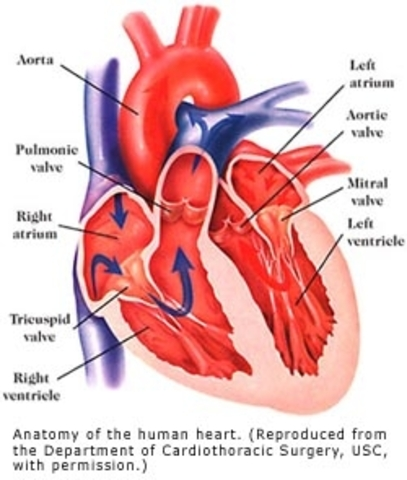 Heart begins to beat regulary, Eyes and ears begin to form.