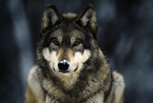 Adopting Startup Island's Wolf