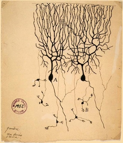 The Neuron Doctrine wins the Nobel Prize