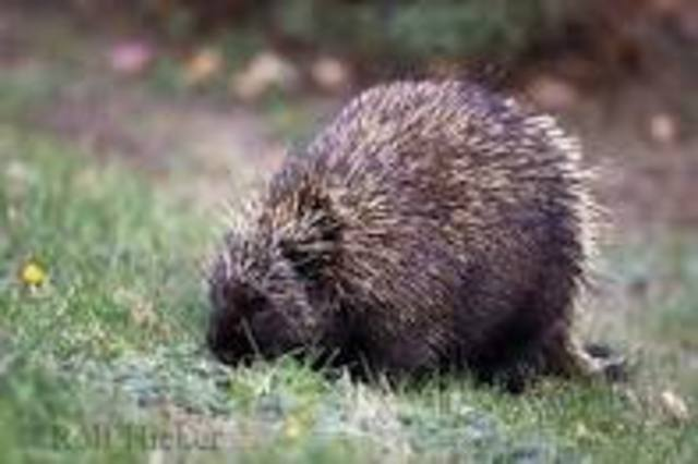 porcuppine