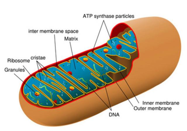 (2-1.5 BYA) Aerobic Prokaryotes Began to Live in Anaerobic Prokaryote