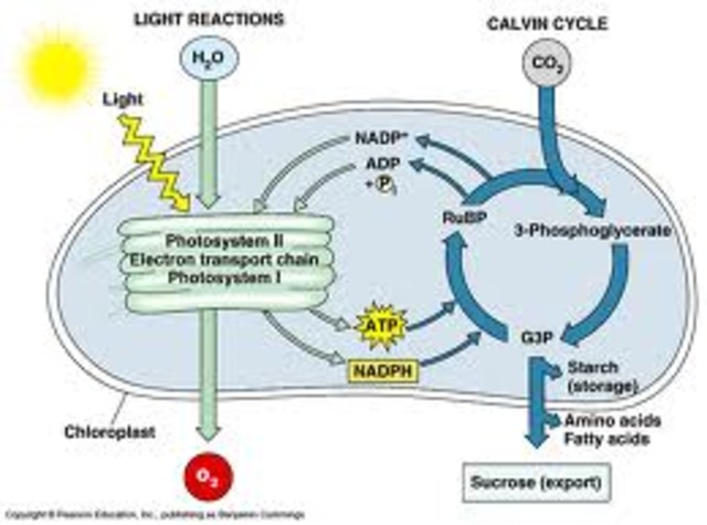 (3 BYA) Cell Photosynthesis and Respiration