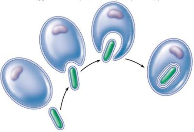 Endosymbiosis (1.5 BYA)
