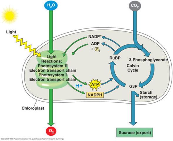 (3 BYA) Photosynthesis