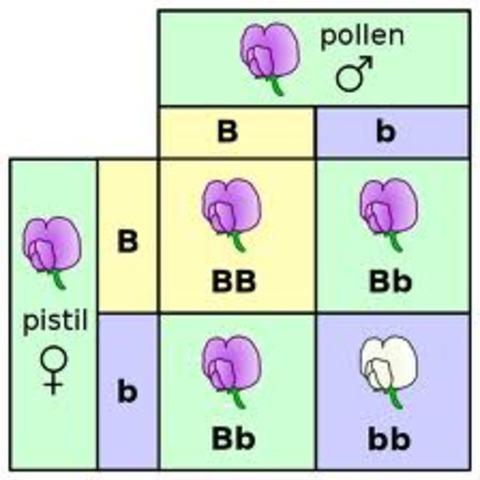 Mendel's Pea Plants  2