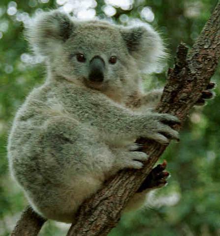 Yo era interesado en koalas.
