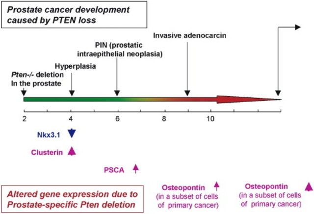 Pten null murine model for human prostate cancer