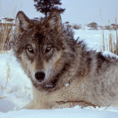 Wolves in Yellowstone timeline