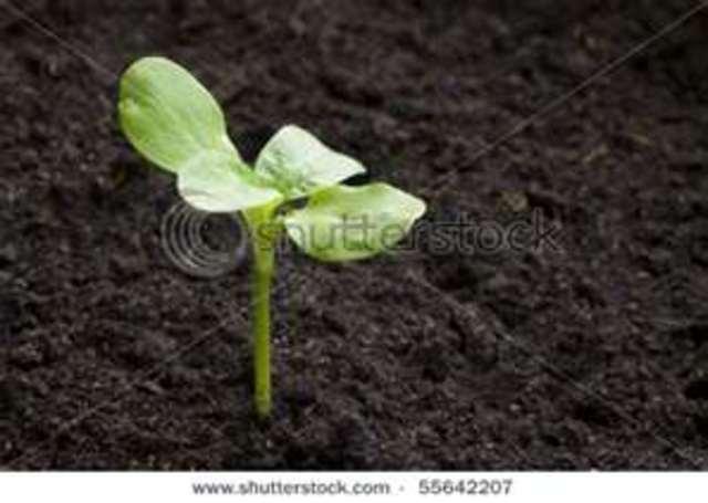 Plant the seedlings