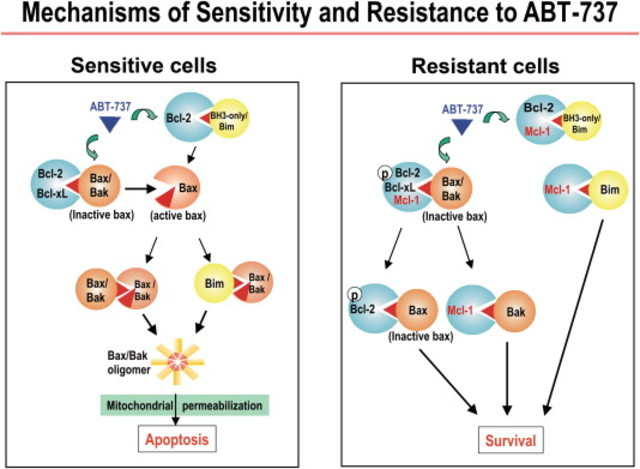 Sensitivity and resistance to BH3 mimetic ABT-737