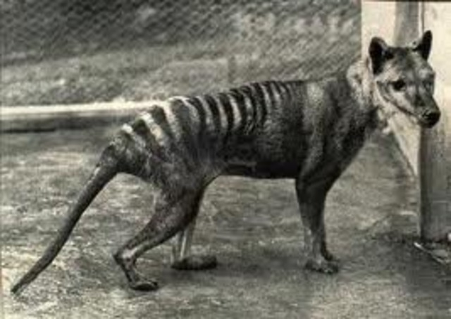 Last Tasmanian Tiger Dies