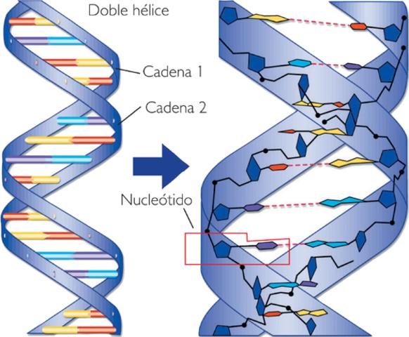 Estructura en doble helice