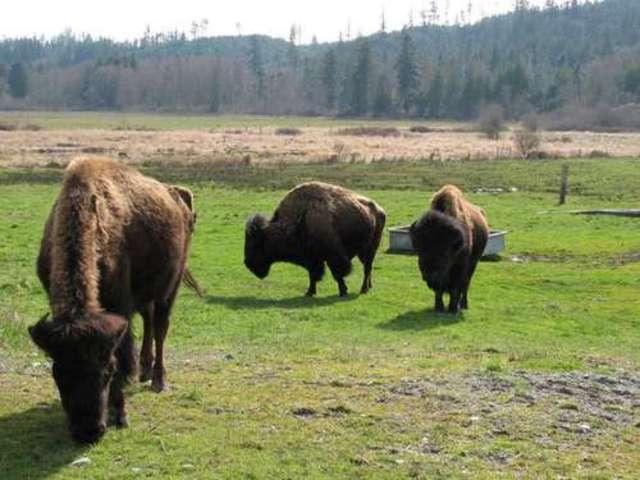 Bison or Beaver?