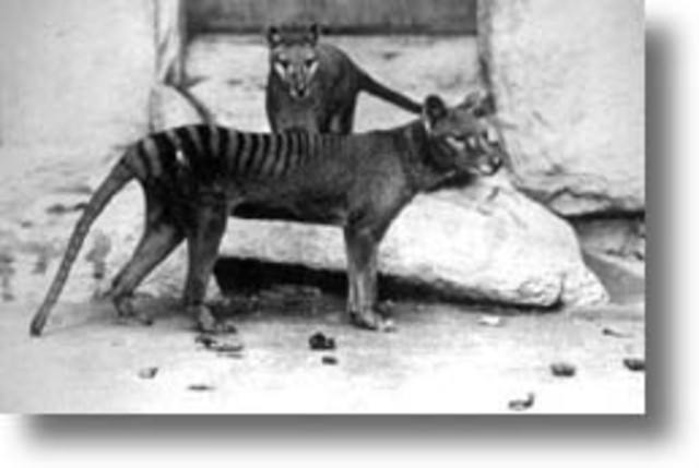 Last Tasmanian Tiger dies in captivity