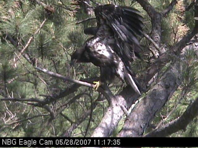 Eaglets fledge