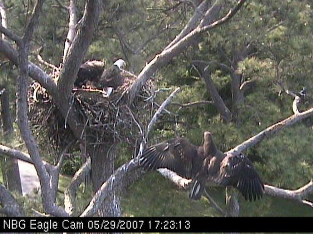 Eaglet fledges