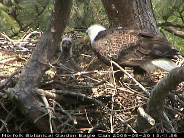Growth noticed on eaglet