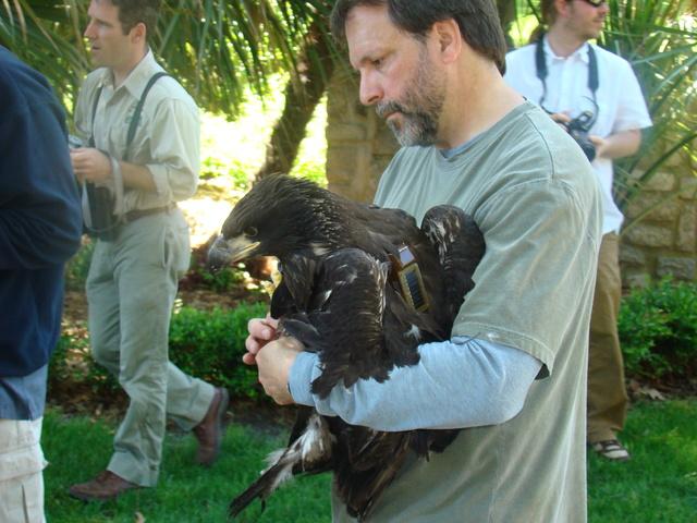 Satellite transmitter fitted on eaglet
