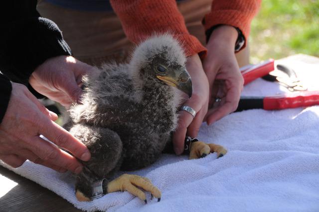Eaglets banded