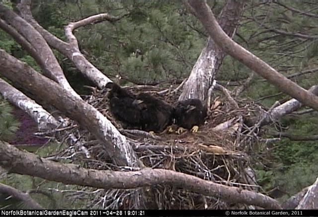 Eaglets removed