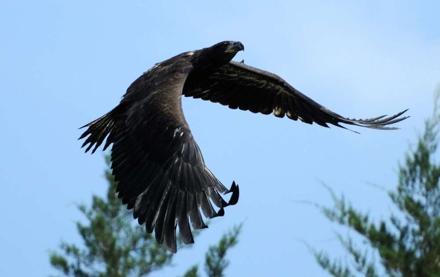 Eaglets released