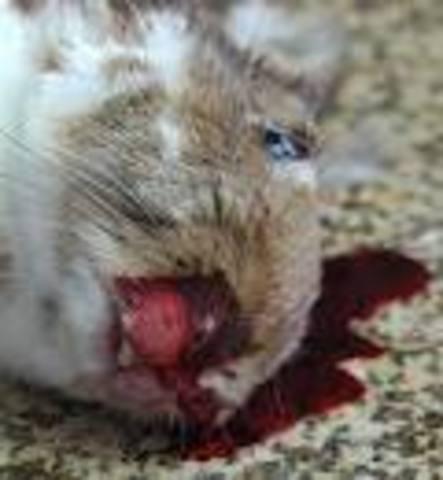 Rabbit calcivirus disease accidentally released