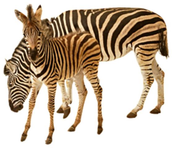 550 MYA - COMPLEX ANIMALS