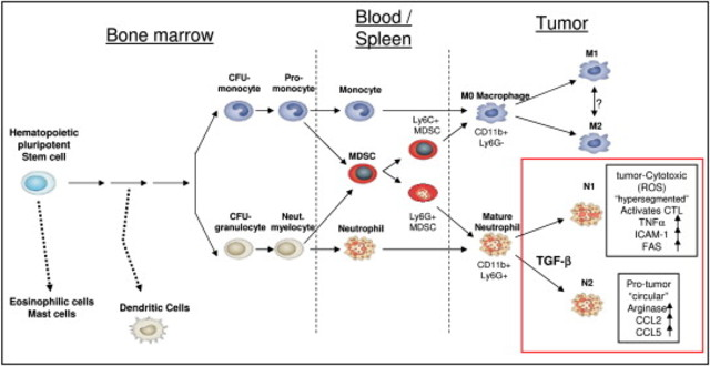 Polarization of tumor-associated neutrophils by TGF-beta