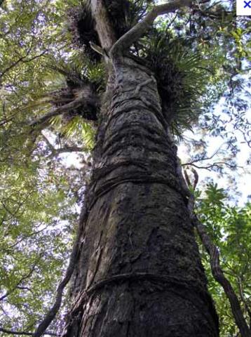 Rumu tree being logged