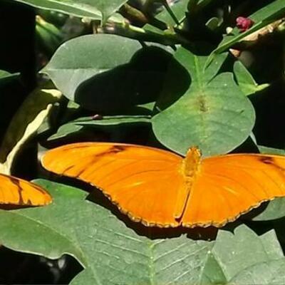 Butterflies timeline