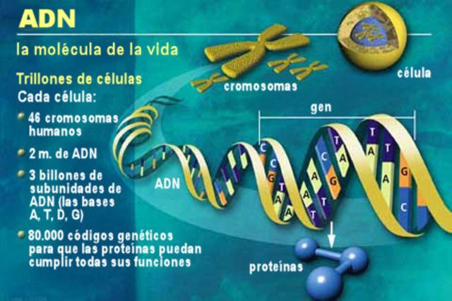 Los genes están en los cromosomas