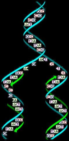 El ADN se replica