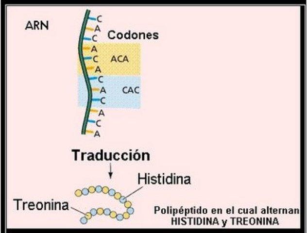 Los tripletes del ADN