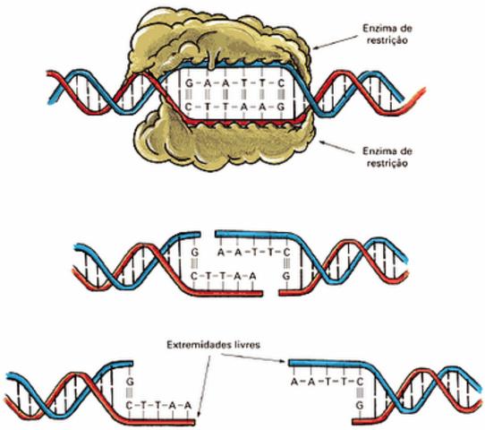Las enzimas de transcripción del ADN
