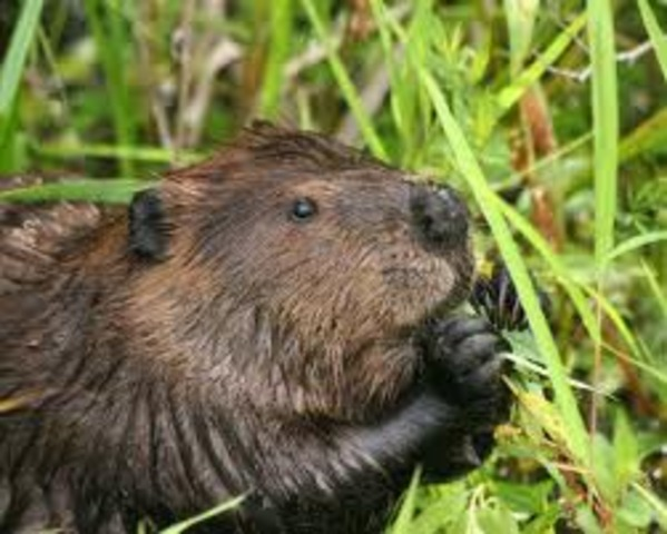 North American Beavers