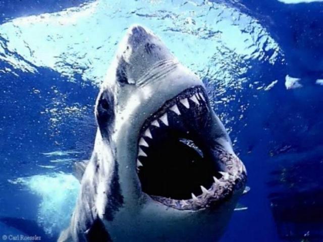 Sharks (Chondrichthyes)
