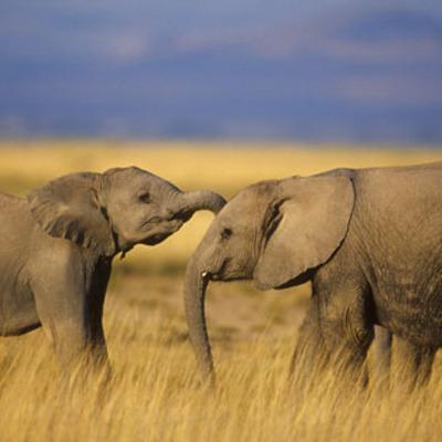 Comparison map of the elephant's population timeline