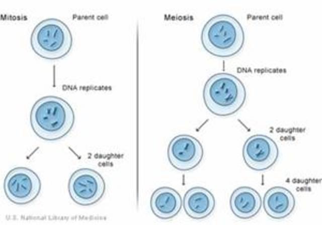 primeras observaciones de la división celular